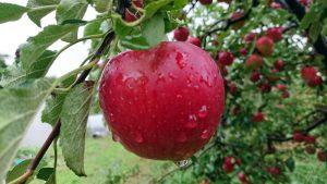 福島県新地町リンゴ農園マルショウを訪問